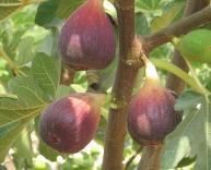 ฟิก (Fig: Ficus carica L.) หรือ มะเดื่อฝรั่ง ผลไม้เพื่อสุขภาพ