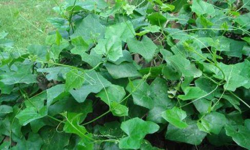 ตำลึง (Coccinia grandis)